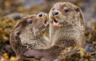 Supercharged Otters