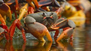 Crabs Wild Cuba: A Caribbean Journey