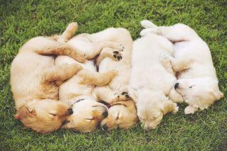 Group of Golden Retriever Puppies